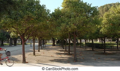 Green city park with rows of orange trees and fruit fallen on the ground. Unidentified child on bike passing by