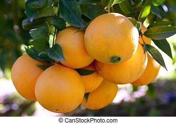 Orange trees with oranges - Orange trees in Spain with...