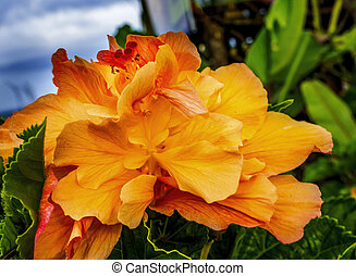 Orange Tropical Double Hibiscus Flower Easter Island Chile