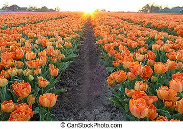 orange tulip field in sunset
