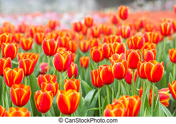 Orange tulip flower fields