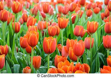 Orange tulip flowers field
