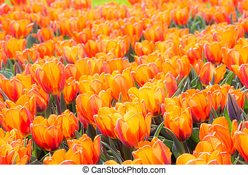 Orange tulip flowers - Garden full of orange blooming tulip...