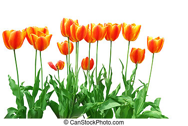 Orange Tulip - Row of orange red tulip isolated on white