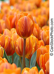 Orange tulip stand out in the group