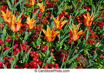 Orange tulips background
