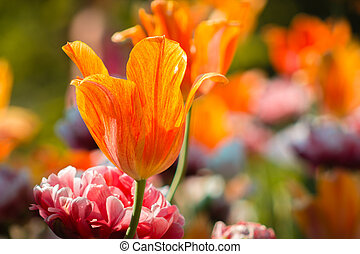 Orange tulips blooming in a flower bed mixed with peonies
