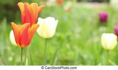 Orange tulips camera motion
