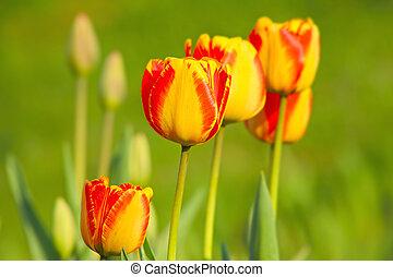 Orange tulips flowers in garden