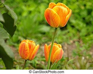 Orange Tulips in a Green Garden