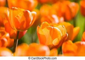 A field of sunny, orange tulips in spring