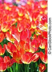 Orange tulips in sunlight