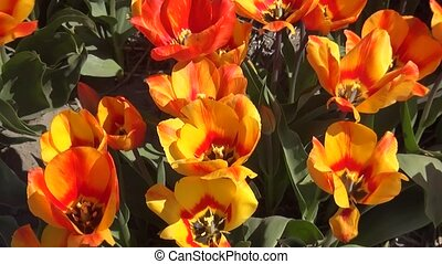 Orange tulips on the field - Tulip (Tulipa) is a genus of...