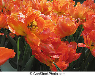 Orange tulips with droplets in spring