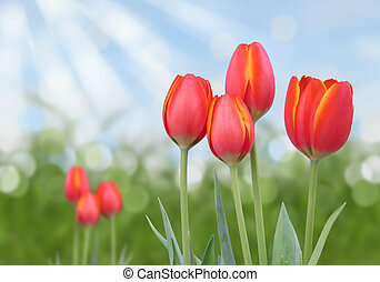 orange tulips with sunny background