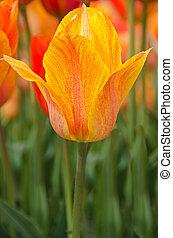 orange tulpe