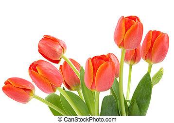 orange, tulpen