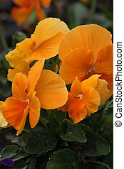 orange viola on the bed