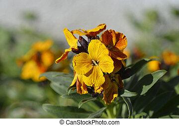 Orange Wallflower - Latin name - Erysimum cheiri
