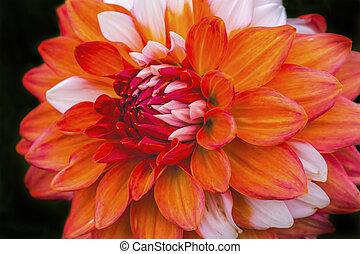 Orange White Bicolored Dahlia Blooming Macro. Dahlia named A La Mode