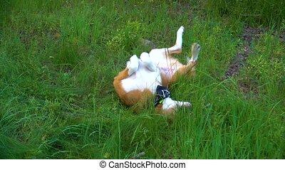 Orange white dog lying on the grass, fooling around and...
