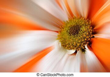 Orange White Gerber Daisy Flower