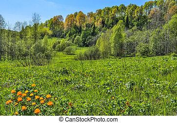 Orange wild flowers Trollius asiaticus on hill - spring rural landscape