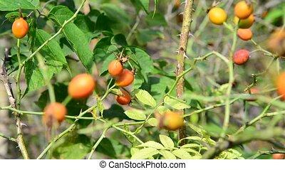 Orange wild rose berries on branch
