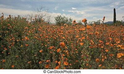 Orange wildflowers in Arizona Sonoran Desert, panning shot