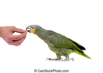 Orange-winged amazon on white background - Orange-winged...