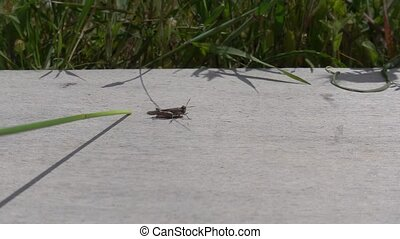 Orange-winged grasshopper insect jumping startled after being poked by grass twig. Slow motion.
