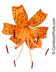 orange with spotted lily flower isolated on white background