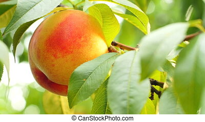 Orange-yellow ripe nectarine on tree branch