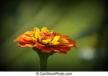Orange Zinnia Flower Closeup