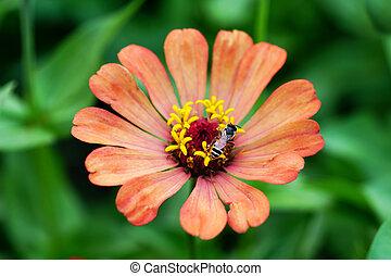 orange zinnia flower with bee