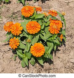 orange Zinnia flowers. (family Compositae)