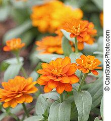 Orange zinnia flowers garden