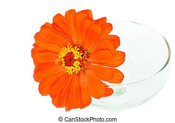 Orange zinnia flowers