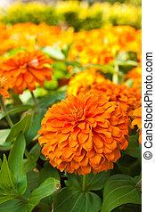 Orange Zinnia flowers in the garden