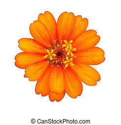 Orange zinnia flowers.