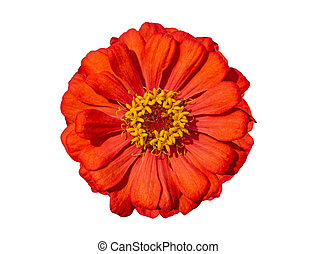 Orange Zinnia Isolated on White Background