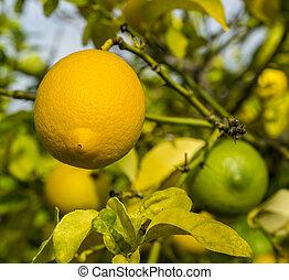 orangen, bündel