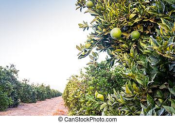 orangen, plantation., reihen, von, bäume, mit, unreif, fruits.