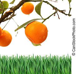 oranger, branche