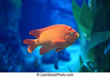 oranger fisch, in, blaues wasser