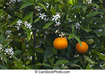 oranges and orange flowers on a tree