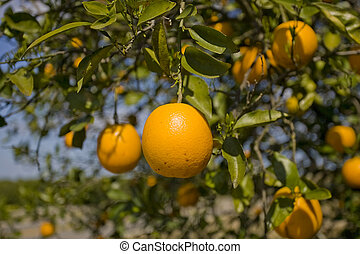 Oranges awaiting harvest