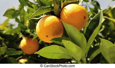 Oranges - California Navel oranges on a tree