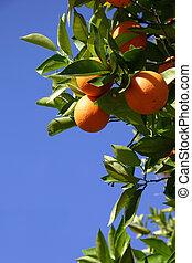 Oranges hanging in the sun.