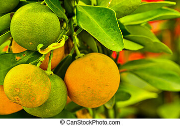 oranges hanging on a tree